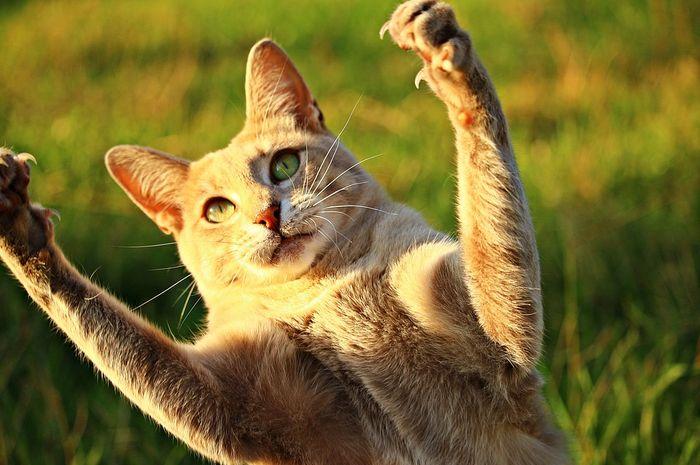 Luka karena dicakar kucing bisa berbahaya.