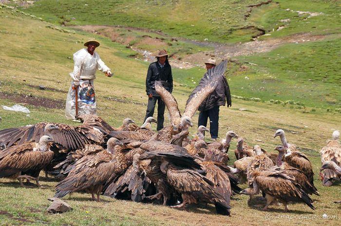 kawanan burung Nasar yang menyerbu jenazah