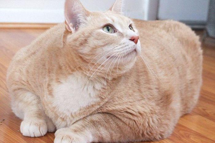 Bronson, si kucing obesitas.