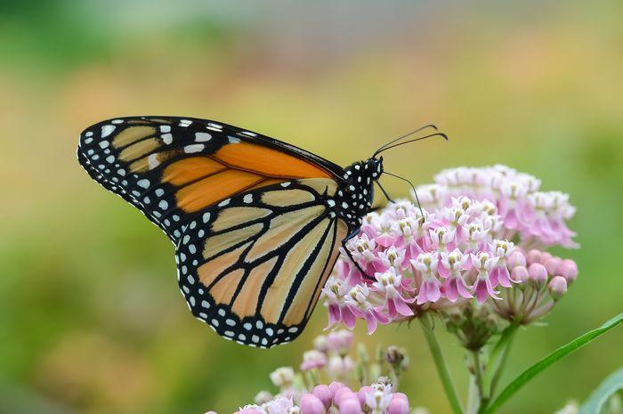 Dahulu Dibenci Kini Milkweed Dicintai Demi Populasi Kupu Kupu Monarch Semua Halaman National Geographic