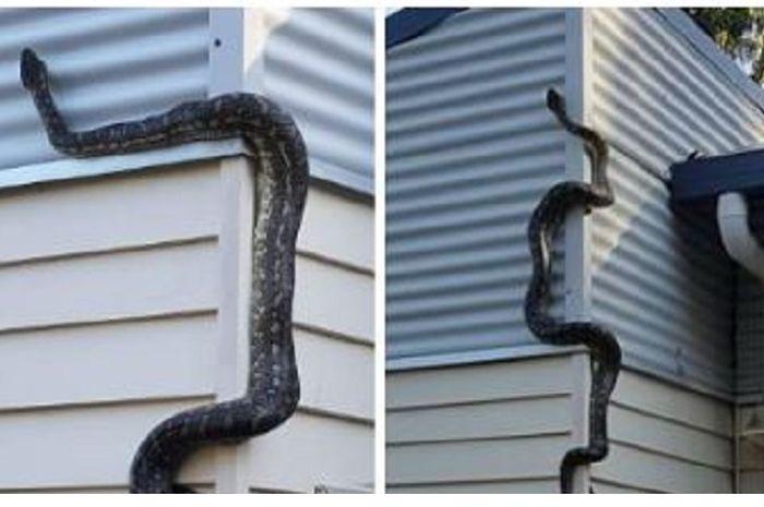 Ular piton sepanjang 3 meter berusha masuk ke dalam rumah.
