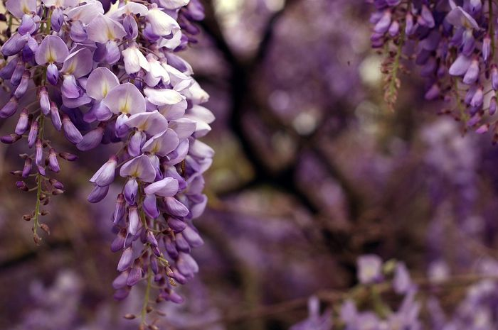 Bunga wisteria.