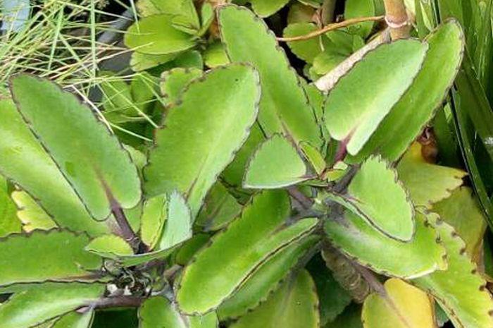 Cocor Bebek