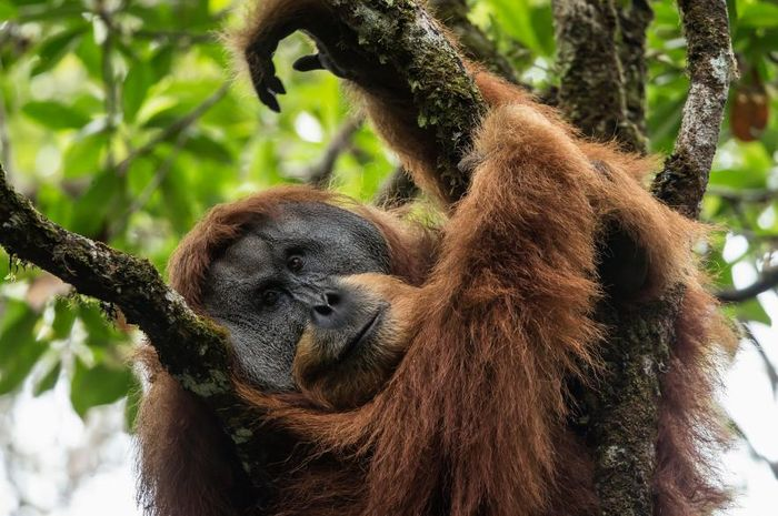 Orangutan Tapanuli di habitatnya di Batang Toru.