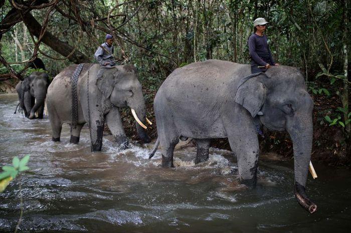 Sekolah gajah di Taman Nasional Way Kambas