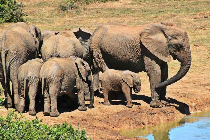 Induk gajah dan anaknya.