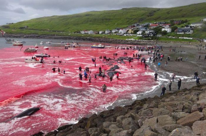 laut Faroe yang berubah menjadi merah darah