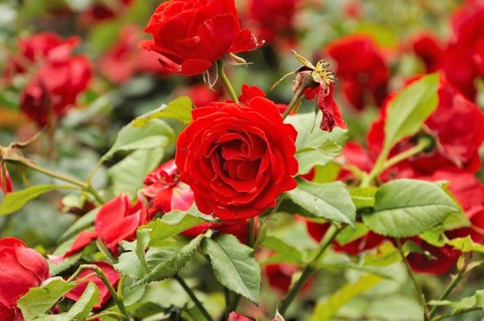 Warna bunga mawar yang cantik