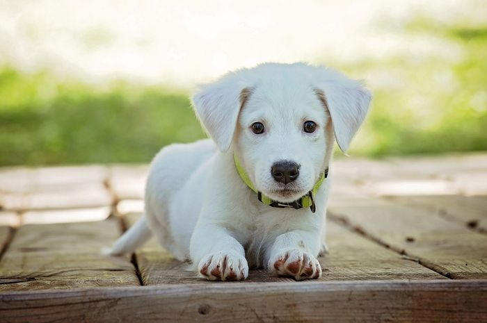 Anjing dipasangi microchip agar identitasnya mudah diketahui