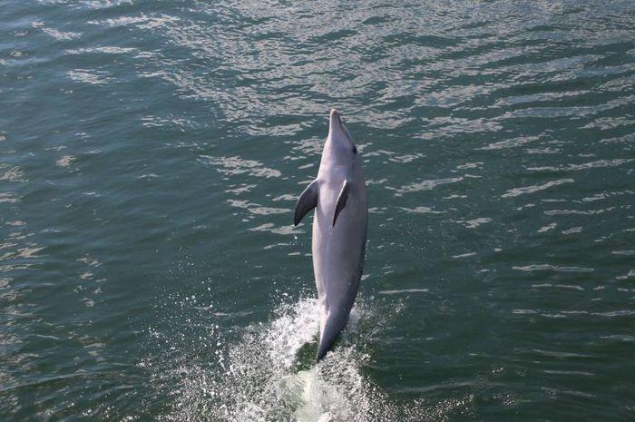 Lumba-lumba Billie mengajari spesiesnya berjalan di atas ekor dan ini kabar gembira untuk para ilmuwan dan ekosistem mamalia tersebut.
