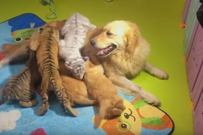 anjing betina menyusui anak-anak harimau