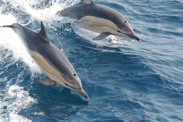 Ilustrasi lumba-lumba berenang bersama