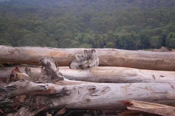Dua koala di tengah habitatnya yang semakin gersang.