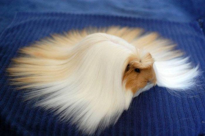 Hewan dengan model rambut unik