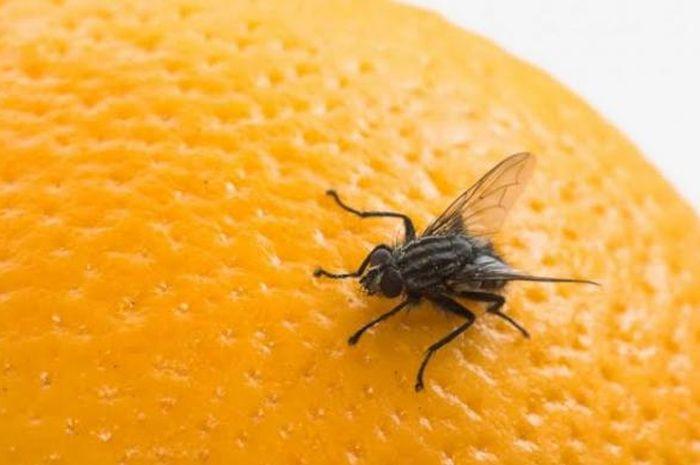 Cara mengusir lalat di rumah, gunakan bahan alami, dijamin ampuh!