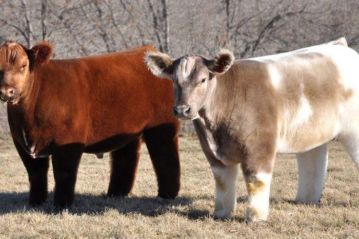Texas Tornado Fluffy Cow