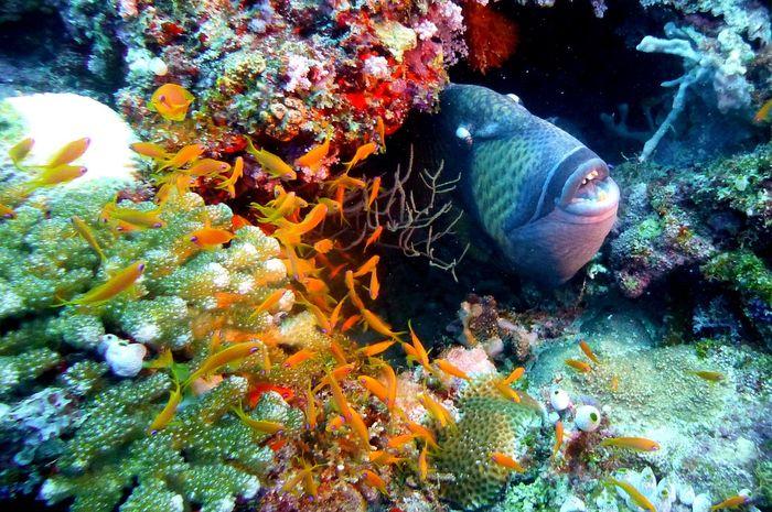 Salah satu ikan yang berenang mundur, Ocean Triggerfish Fish Trigger Underwater Sea