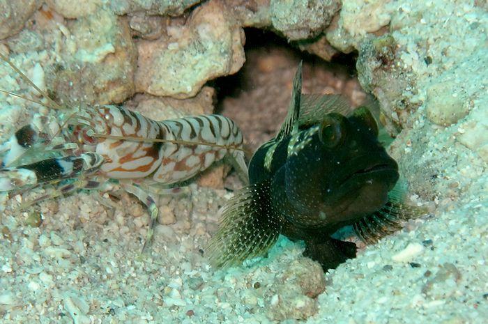 ikan goby dan udang pistol