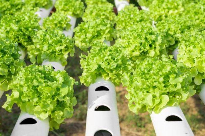 Makan Sayuran Dari Rumah Sendiri Solusinya Berkebun