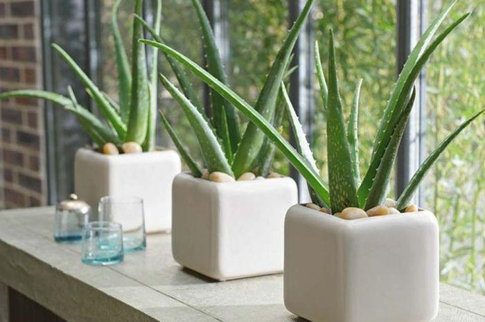 Lidah Buaya merupakan tanaman yang bisa meningkatkan kualitas tidur