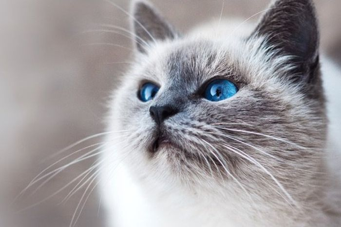 Ilustrasi kucing belang tiga.
