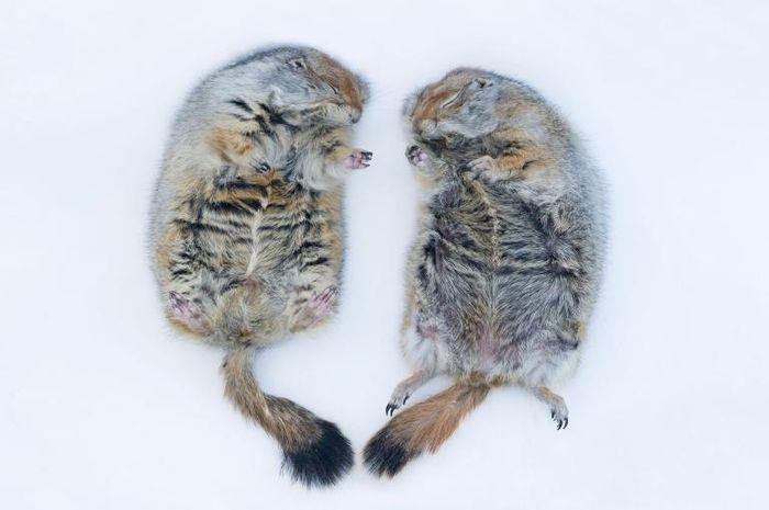 Ilustrasi hewan hibernasi