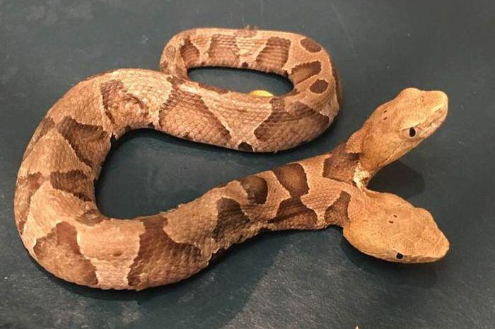 Ular berbisa berkepala dua ditemukan di Virginia, Amerika Serikat
