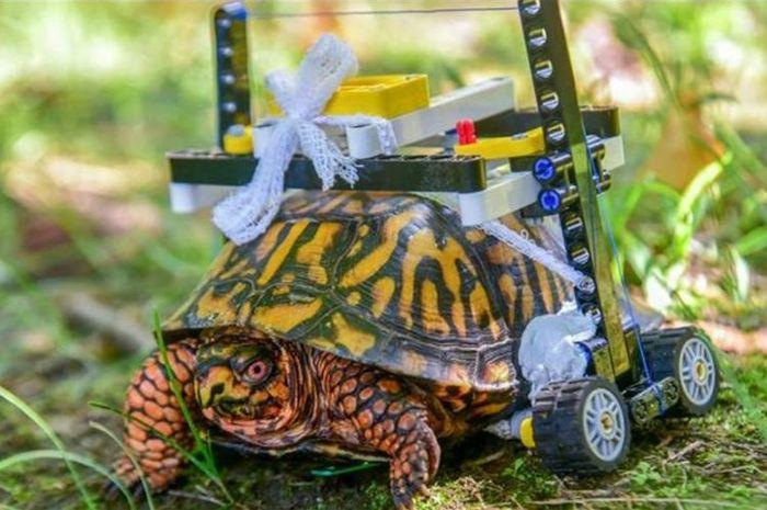 Kura-kura tersebut dibuatkan kursi roda oleh petugas