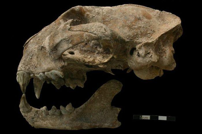 Tulang puma ditemukan di makam perempuan di kota Maya kuno