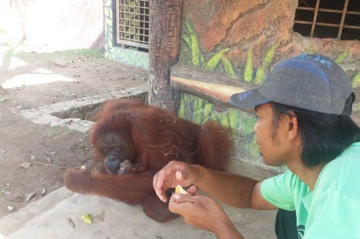 Bintan, bayi orang utan yang baru dilahirkan di Taman Safari Lagoi