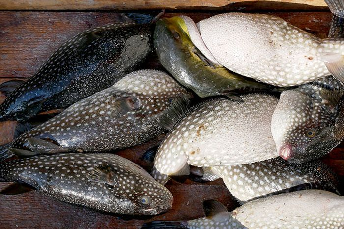 Ilustrasi ikan buntal