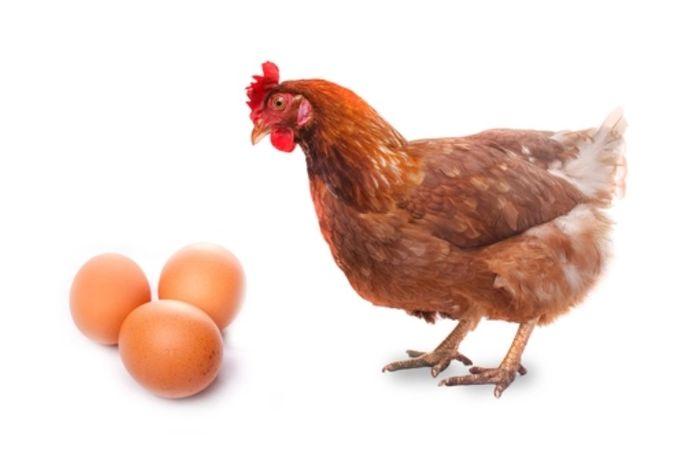 87 Gambar Ayam Telur Paling Bagus
