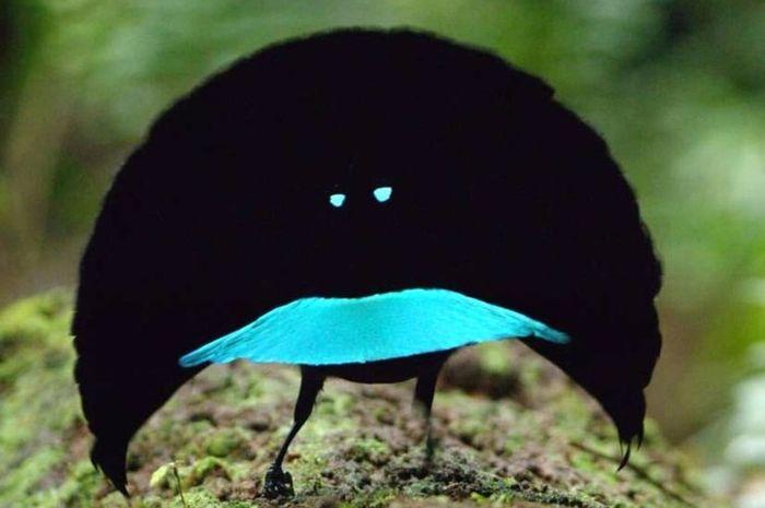 Vogelkop Superb Bird
