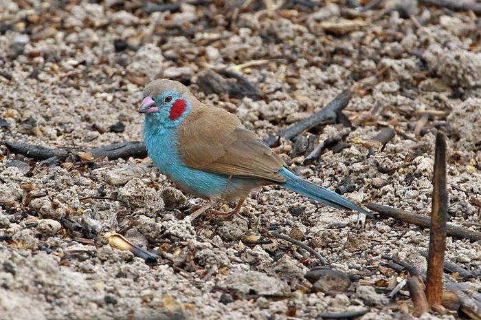 Red cheeked gordon bleu