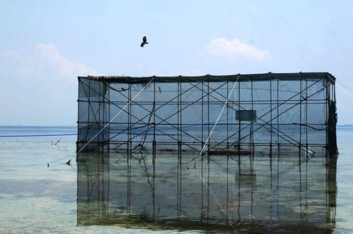 Lipi, elang bondol di Kepulauan Seribu, terbang bebas setelah dilepasliarkan.