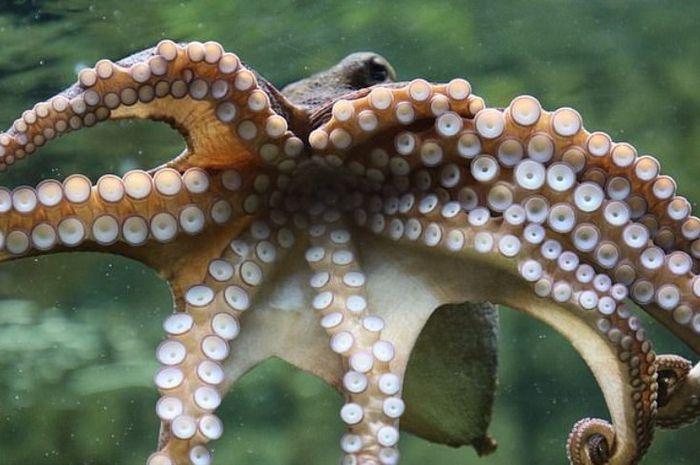 Octavius, gurita yang melahirkan 10 ribu bayi.