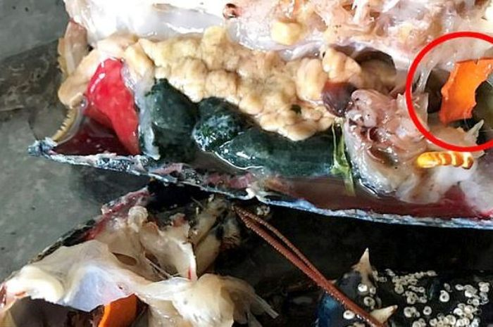 Potongan plastik dari tutup tabung gas di dalam tubuh lobster.