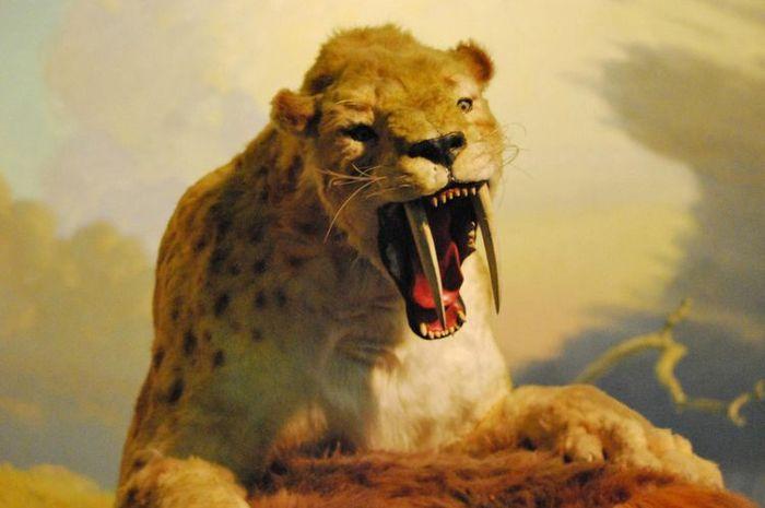 Ilustrasi kucing purba bergigi pedang, Sabertooth