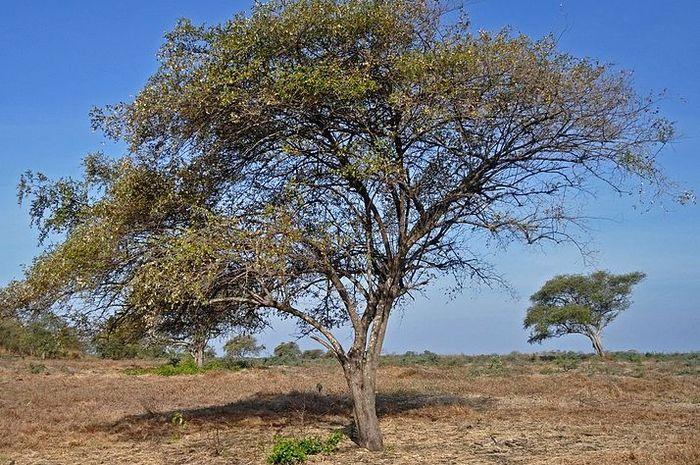 Pohon Bidara atau Bekol Savanna di Baluran National Park