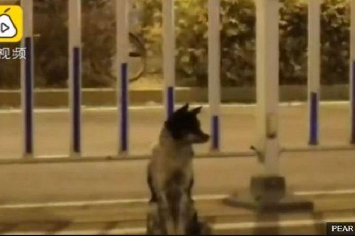 Anjing yang setia menunggu di jalan.
