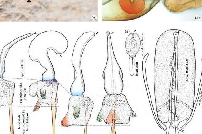 unik serangga betina ini memiliki penis bagaimana