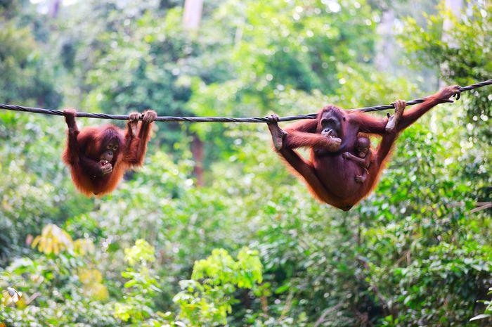 Orangutan yang hidup di alam bebas.