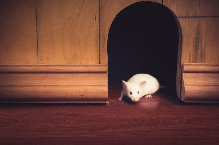 Ilustrasi tikus rumahan