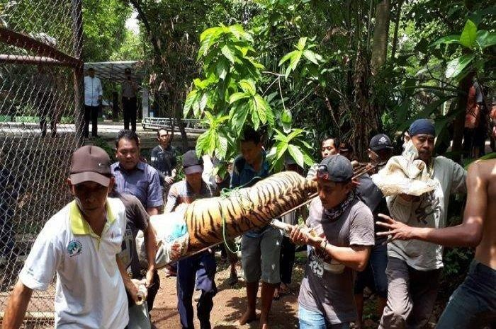 Harimau bonbin Semarang yang sempat lepas berhasil ditangkap.