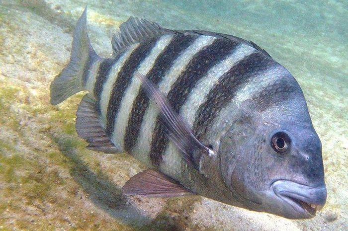 Ikan sheepshead