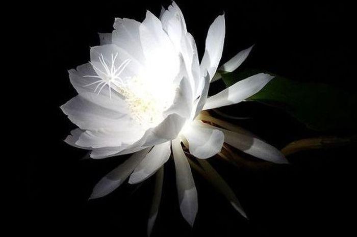 Bunga Wijaya Kusuma, Si Misterius yang Mekarnya Setahun Sekali