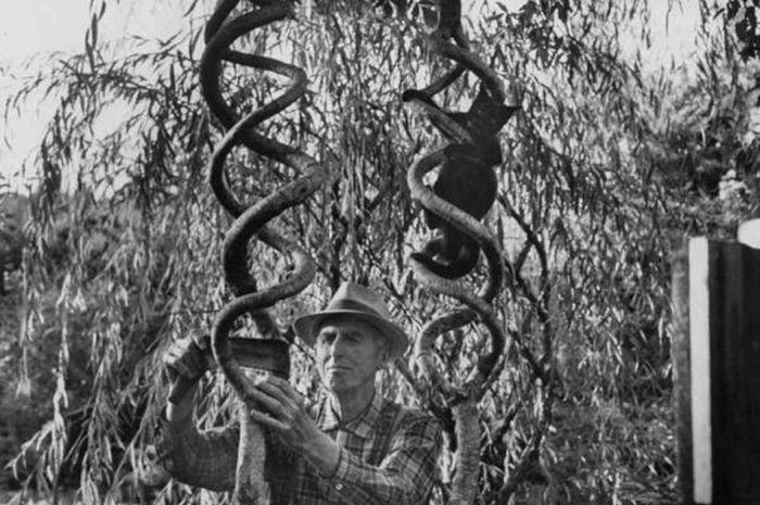 Axel Erlandson tumbuhkan pohon-pohon dengan bentuk unik