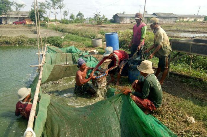 Para pekerja sedang memindahkan lele dari kolam ke truk, di kawasan tambak lele di Desa Krimun, Kecamatan Lohsarang, Indramayu, Jawa Barat, Jumat (7/12/2018).