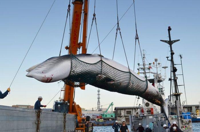 Paus minke saat ditangkap di Hokkaido pada 2017.