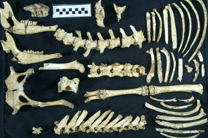 Fosil rusa prasejarah yang ditemukan.